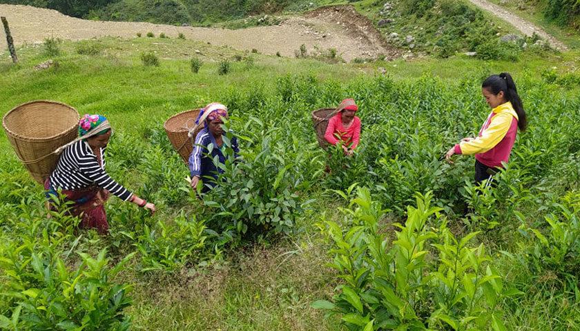 पर्वत जिल्लामा पहिलो पटक सुरु गरिएको व्यावसायीक चिया खेतीबाट तयारी चिया उत्पादन